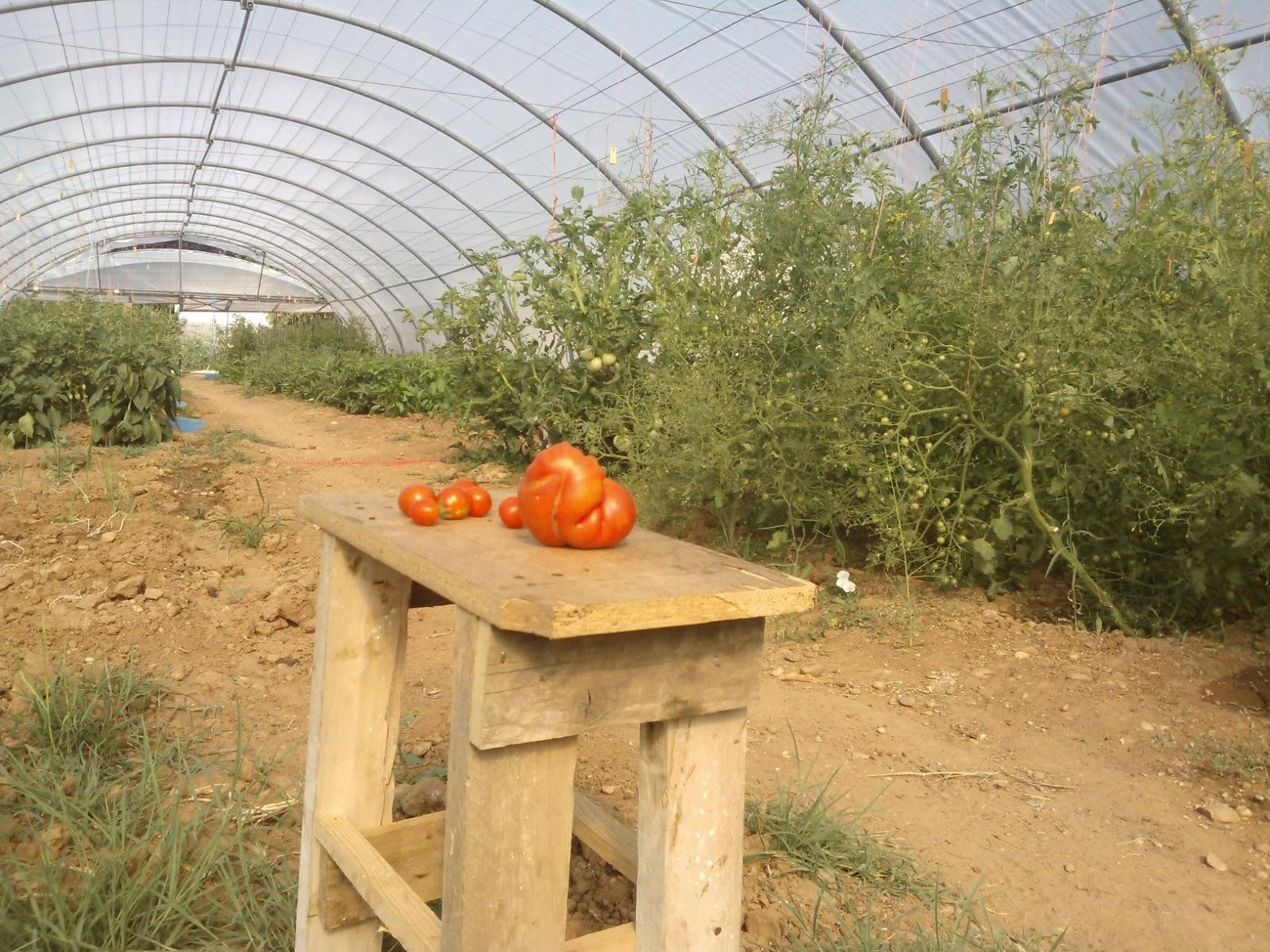 Tomates naturales de Tudela de Duero