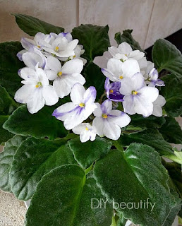 Get repeat blooms from your African Violet by following these Two Simple Tips at DIY beautify!