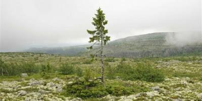 Pohon Tertua Hidup Sebelum Banjir Nabi Nuh