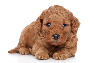 Brown Miniature Poodle Puppy