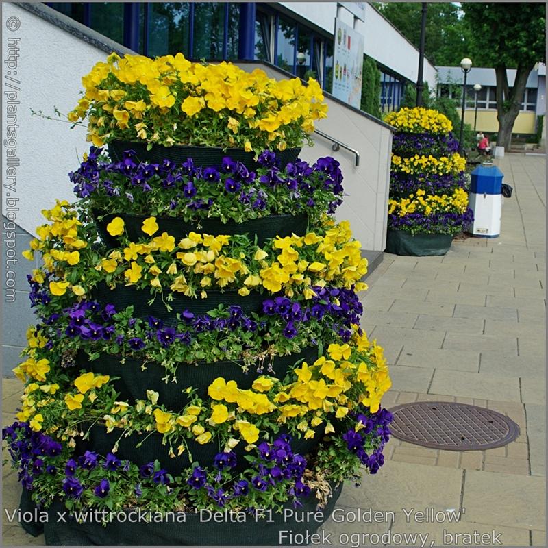 Viola x wittrockiana 'Delta Pure Golden Yellow' - Fiołek ogrodowy, bratek