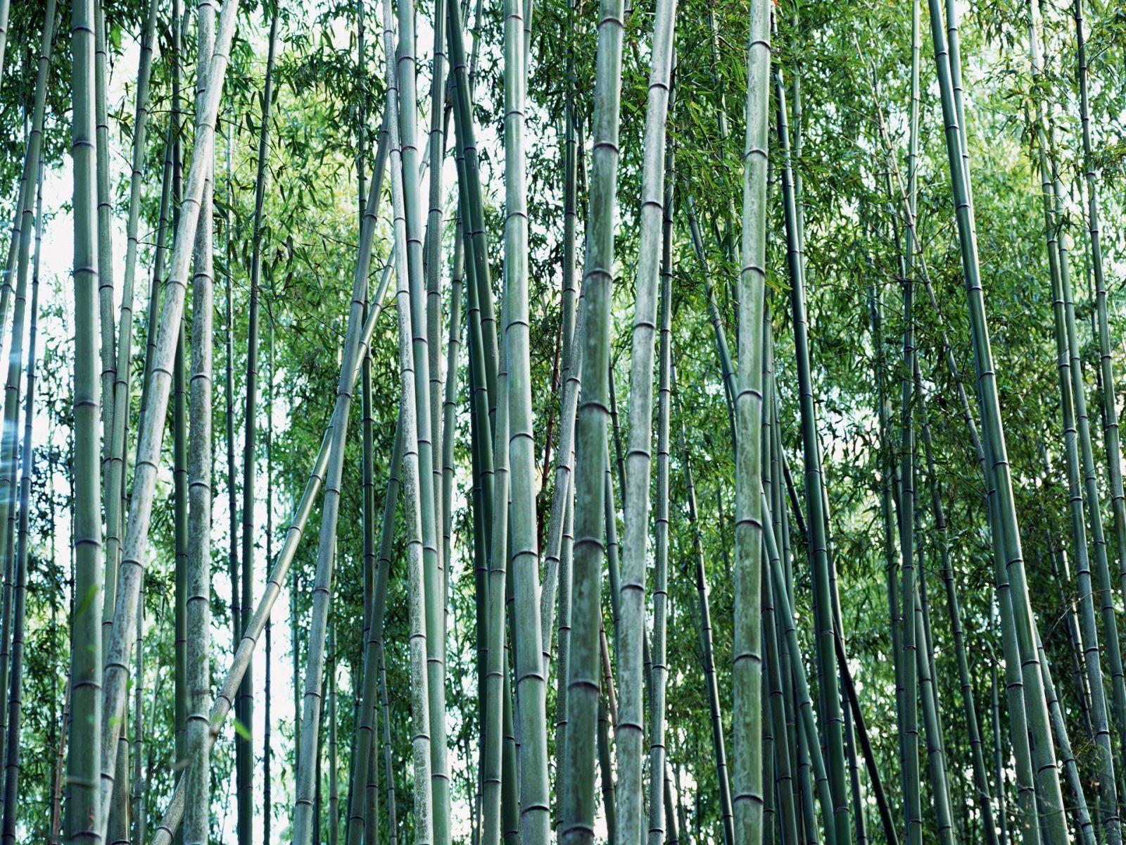 http://3.bp.blogspot.com/-sS76psIY2ZA/TqKZv66gGXI/AAAAAAAABHw/CAezAihYnP4/s1600/bamboo_design_wallpaper.jpg
