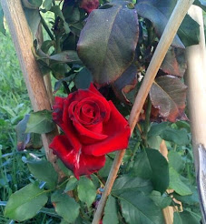 Rosa di Via Miramare