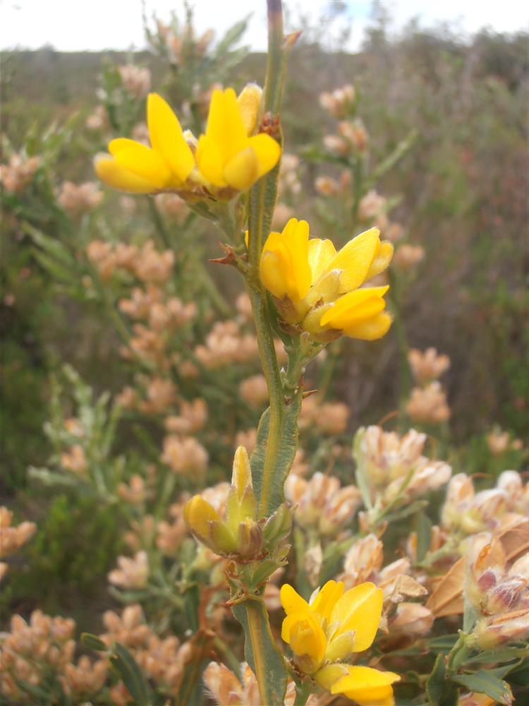junio y luce las características flores amarillas de las leguminosas