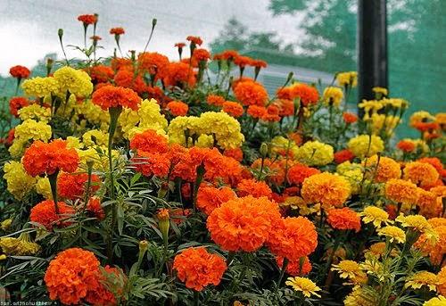 Цветы календула фото