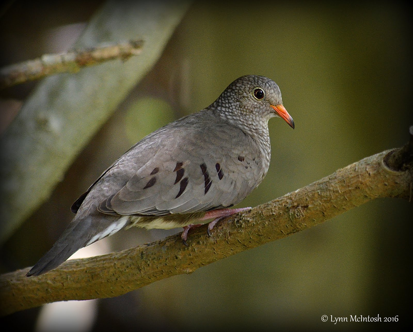 Ground Dove
