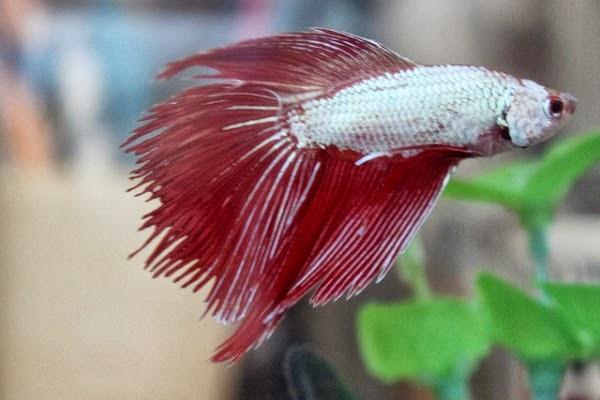 Betta fish betta splendens tropical fish for Pet betta fish