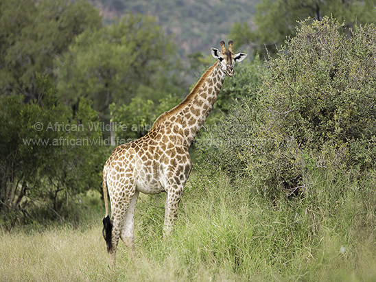 Photograph of a South African Giraffe (Giraffa camelopardalis giraffa) stood in long grass