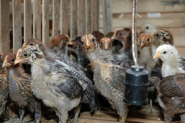 Ternak Ayam: Cara Beternak Ayam Kampung