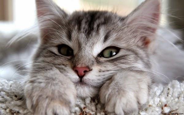 Chat gris domestique en regardant la caméra toujours