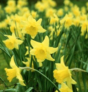 "robert herrick's to daffodils Robert herrick's poignant lyric poem, ""to daffodils,"" has an unusual rhyme scheme a perusal of the critical tradition does not yield an explanation of how that."
