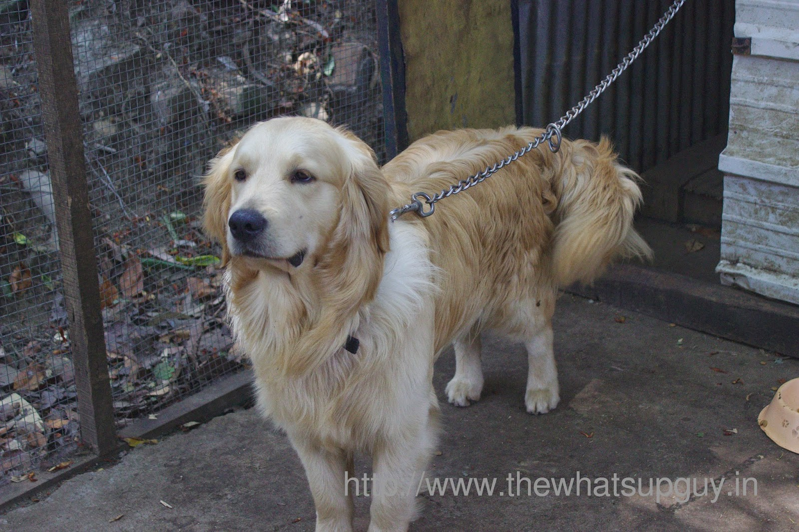 Golden Retriever Tredis Tea Room