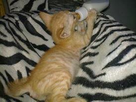 Kucing Utara Hypocalcemia Kucing Demam Susu