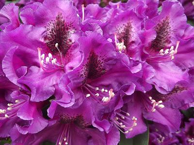 gjoedning av rhododendron