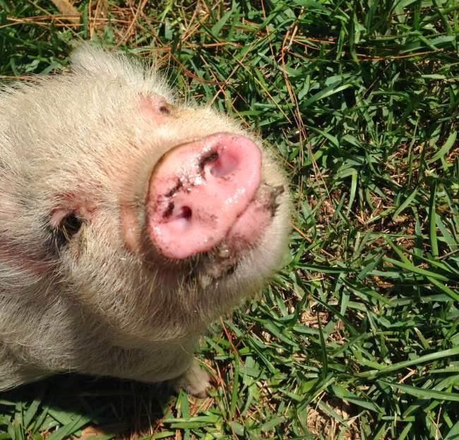 Worlds cutest piglet - photo#27