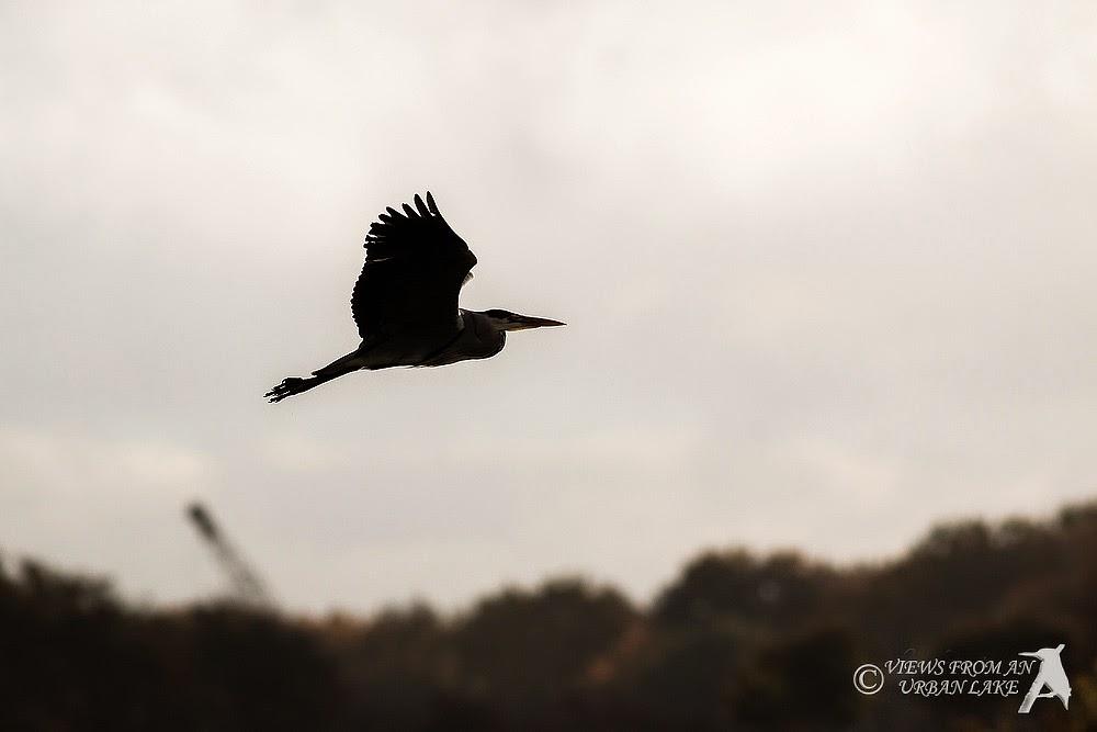 Grey Heron in Silhouette - Manor Farm, Milton Keynes