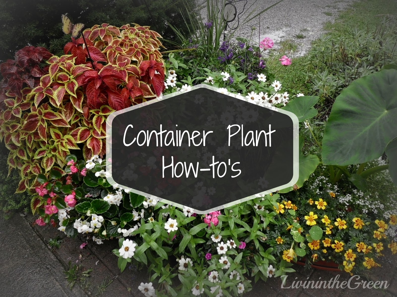 Livin 39 in the green container plant how to 39 s - Best flower combinations for containers ...