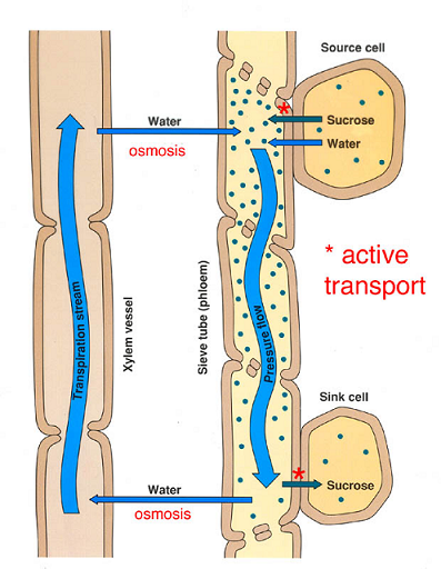 transpiration xylem and plant Xylem carries minerals up from the roots and phloem carries food and hormones down the plant  xylem carries hormones up from the roots and phloem carries food down.