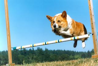 jumping corgi