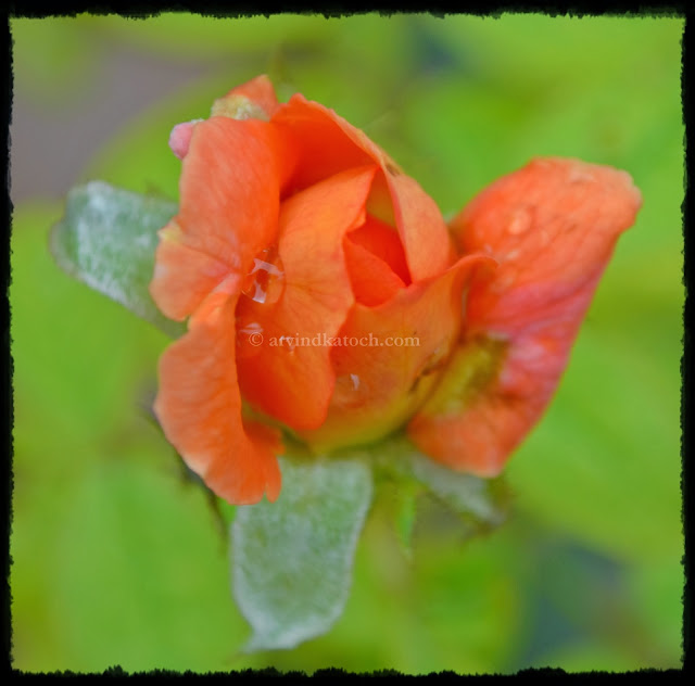 Rose, Bud, Orange Rose, Rose Opening