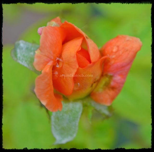 Rose, Bud, Orange Rose, Rose Opening