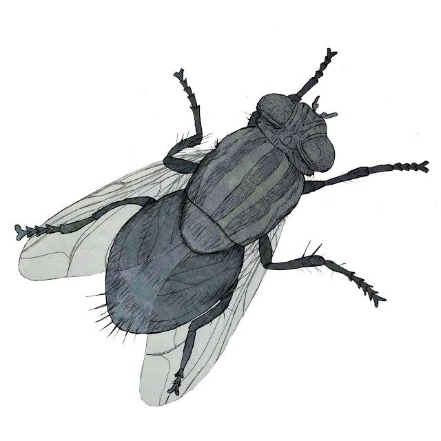 mosca, dibujo