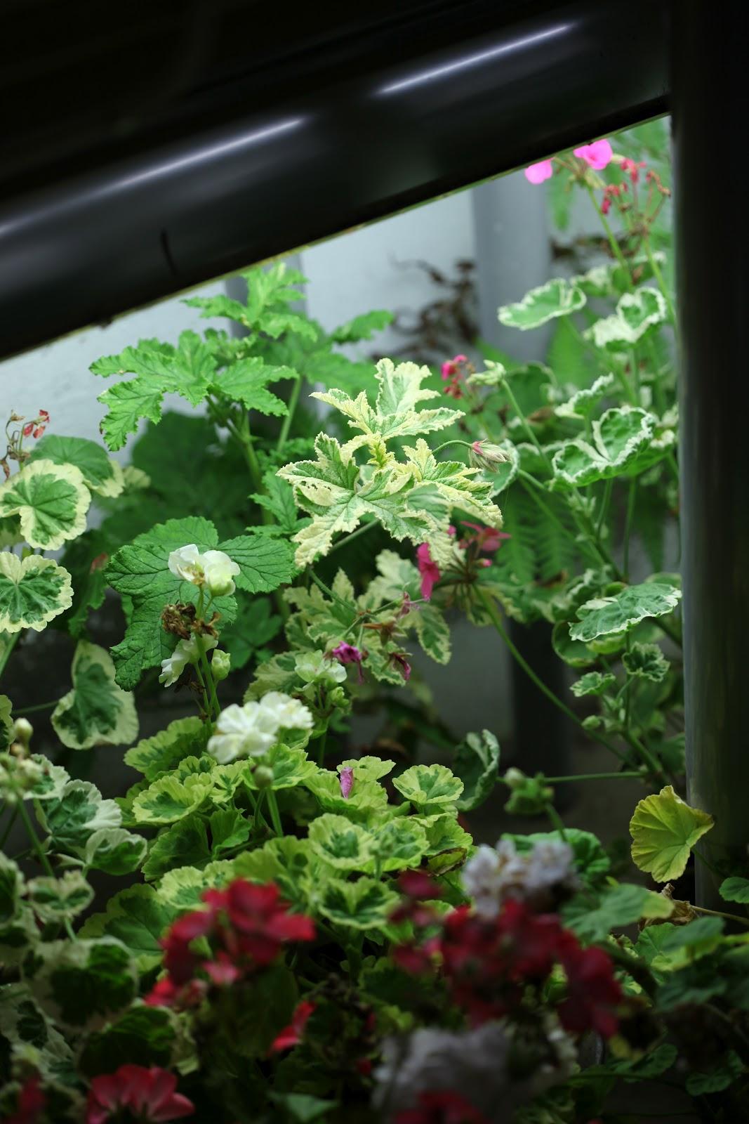 Garden living overvintring av planter og sarte knoller for Planter til koidam