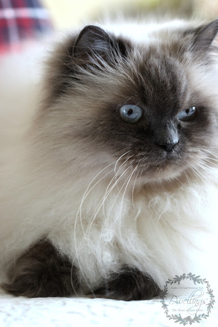 Bella, our blue point Himalayan!