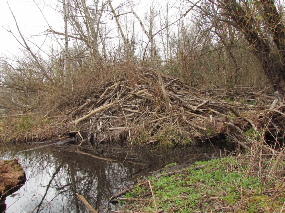 Inside a beaver lodge - photo#12