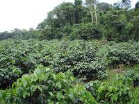 Plantio de guaraná, plantação de guaraná