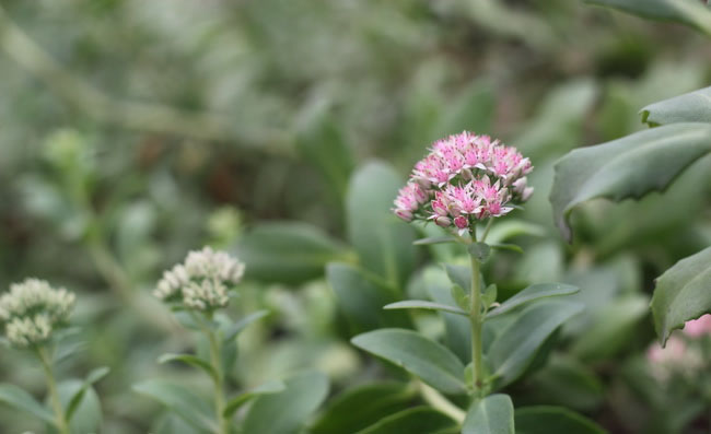 Showy Stonecrop Flowers