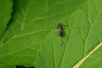 Pimpla sp. ichneumon wasp