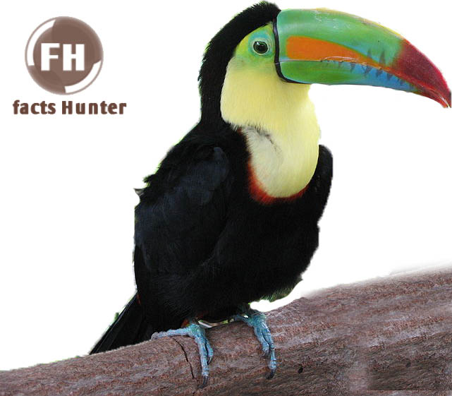 Rainbow Bill Toucan Facts The