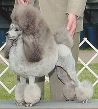 Cutest Dog Breeds In The World Miniature Poodle