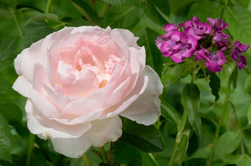 Sharifa Asma rose сорт розы фото купить