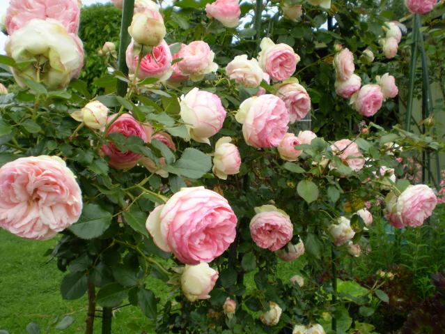 Art ifice rosa 39 pierre de ronsard 39 for Pierre de ronsard rosa