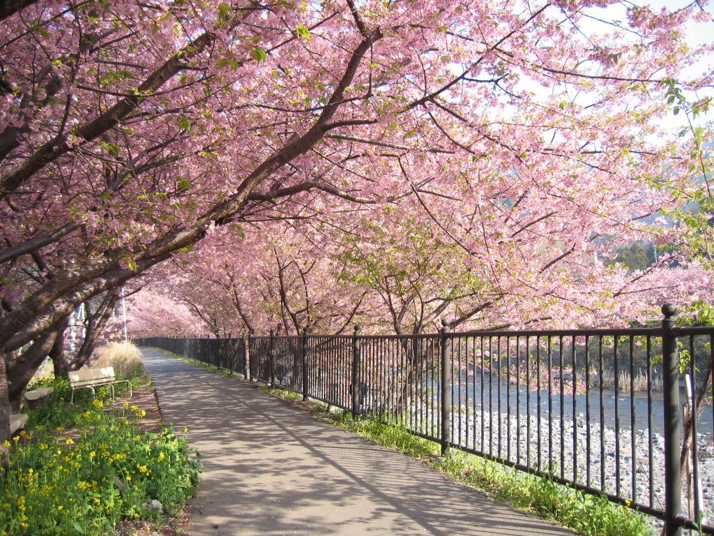 Bunga Sakura 2 Wallpaper