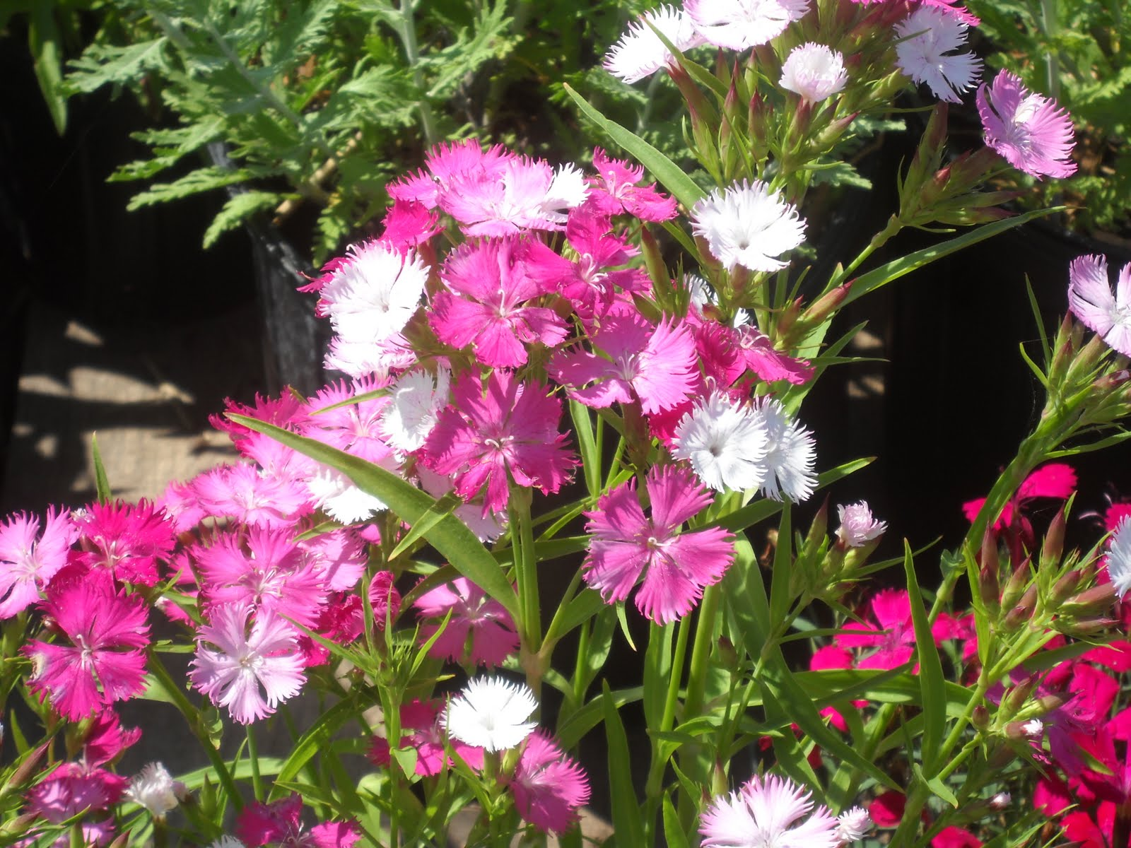 Earthworks St Peter Minnesota Dianthus Next In The Plant