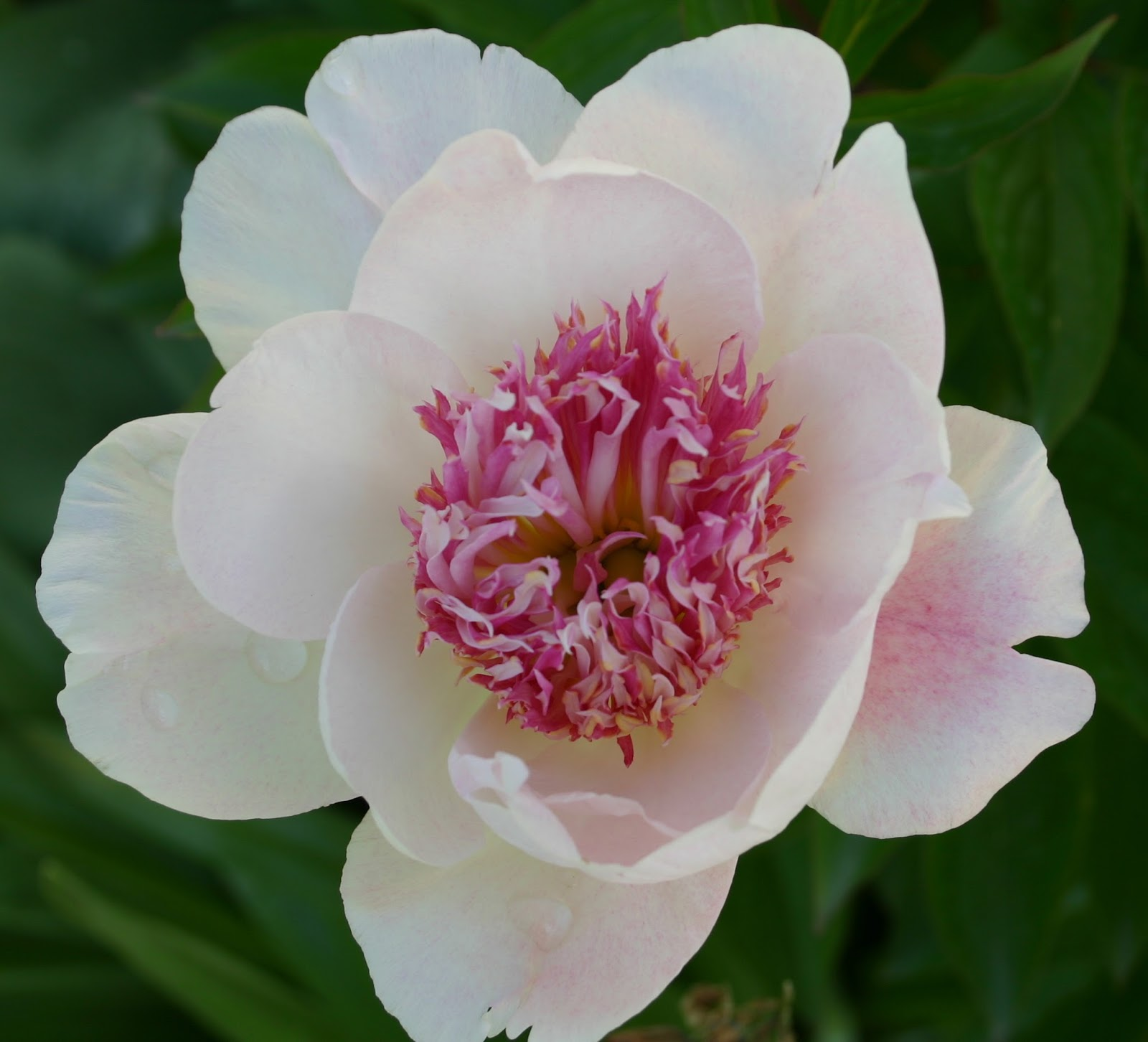 Early Peonies For Spring Arrangements Extra Long Lasting