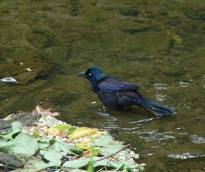 common grackle bathing in stream