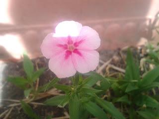 A Pink Flower In Full Bloom