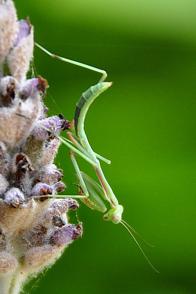 praying mantis on lavender