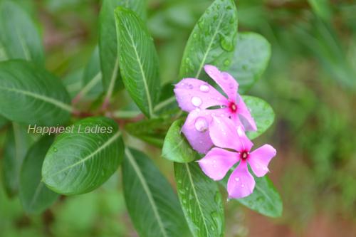 Vinca-Rosea-pink-flower+madagascar-vinca.png