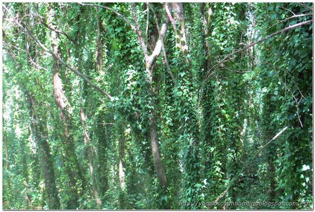 Bosque de hiedra