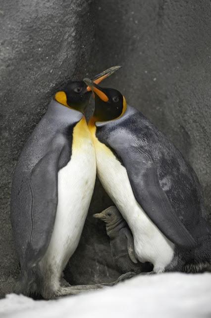 casal de pinguins gays 1