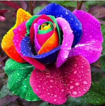 Semillas de Rosas Arcoiris