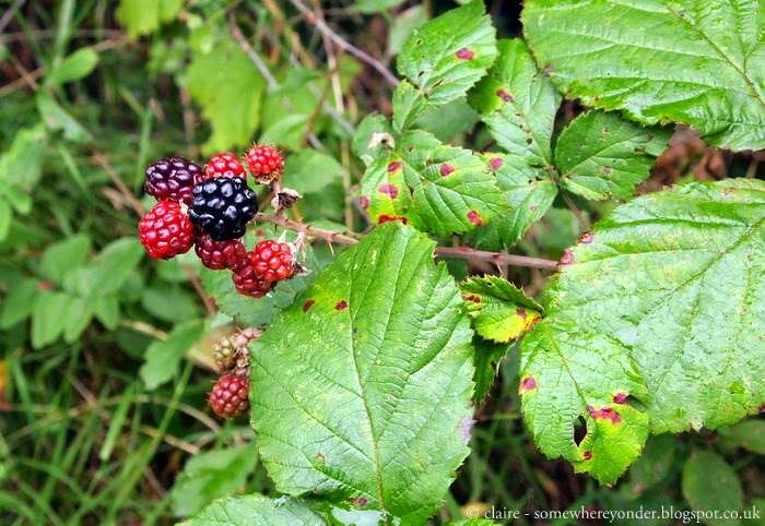Wild blackberries - Guildford to Gomshall, England
