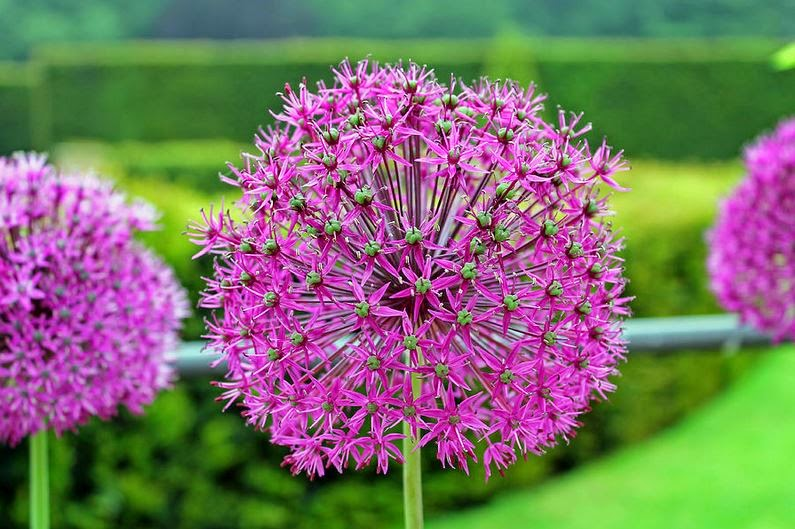 Buy wallart of Purple Allium