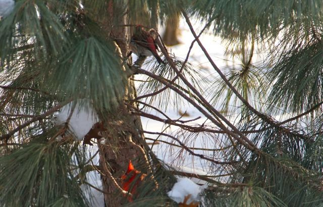 purple finch and male cardinal in pine tree