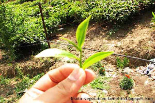 benefits_of_drinking_tea_everyday_fruits-vegetables-benefits.blogspot.com(benefits_of_drinking_tea_everyday_18)
